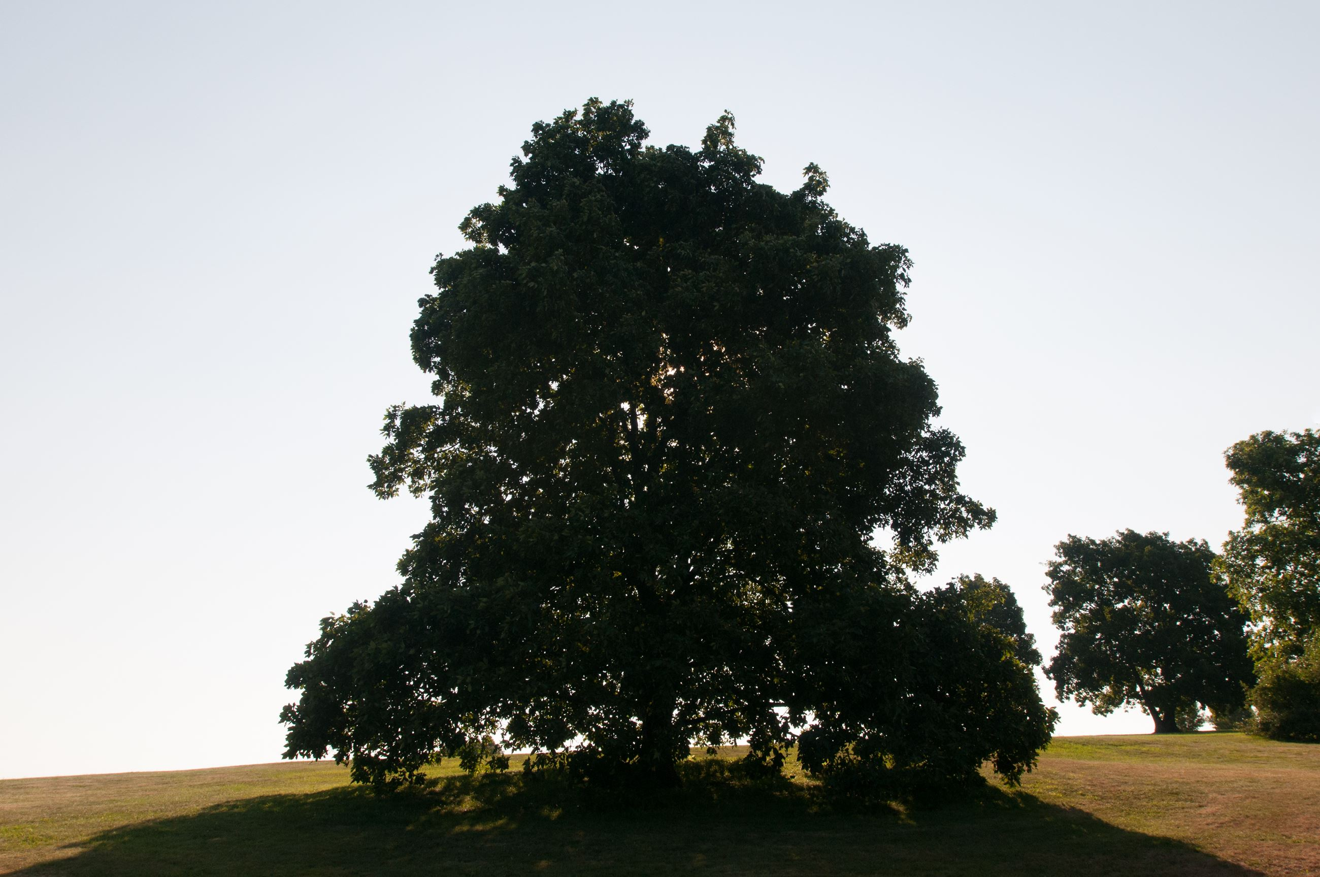 Photograph of large tree on top of hill with a clear, cloudless sky behind it